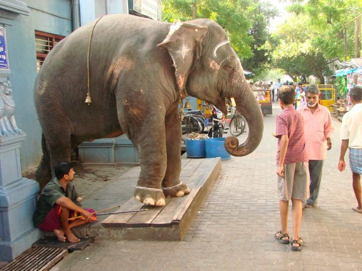 Elefánt Pondicherry utcáján